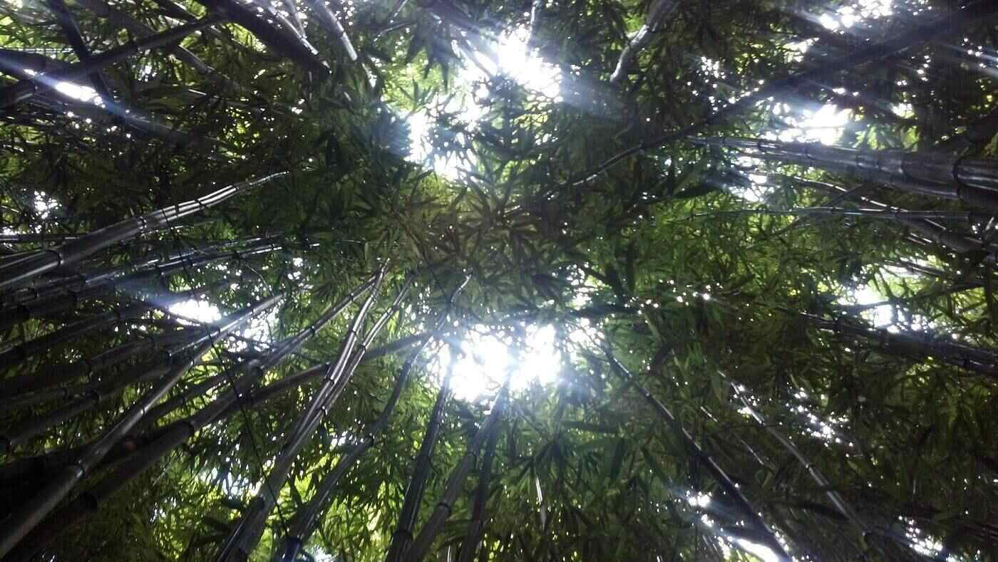 Bamboo forest in Maui, Hawaii